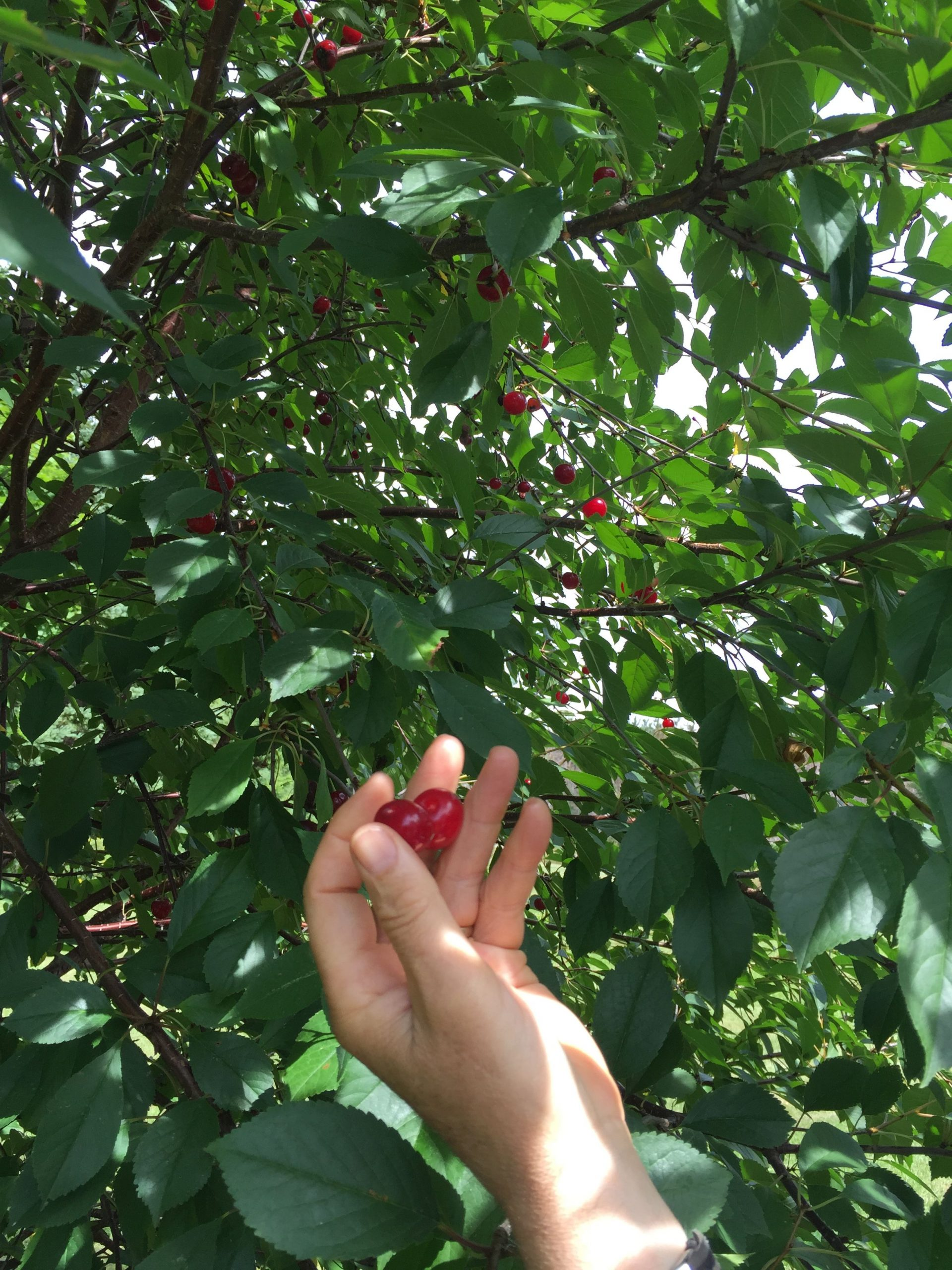 Picking fresh cherries from the tree